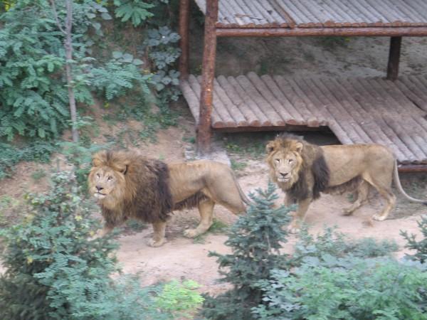 石家庄市动物园狮虎谷2