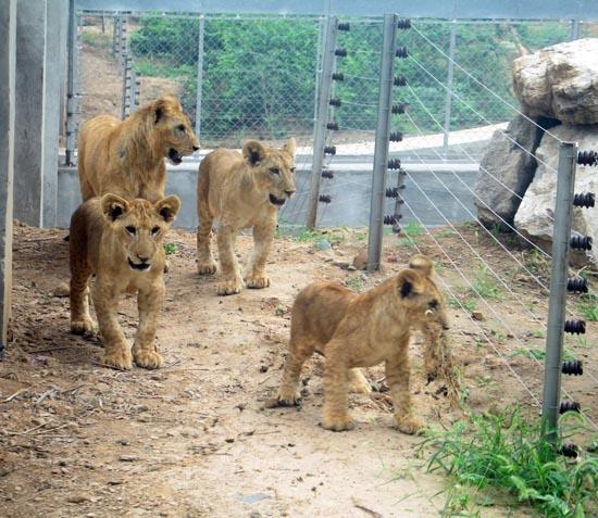 石家庄市动物园四个小狮子
